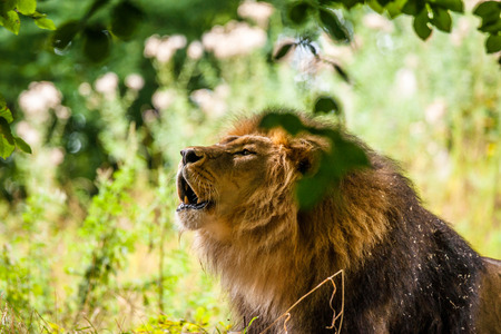 Big male lion roaring in a green forest photo