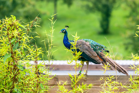 common peafowl: Peacock with closed feathers on a roof