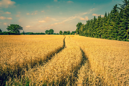 Golden crop field scenery with tire tracks photo