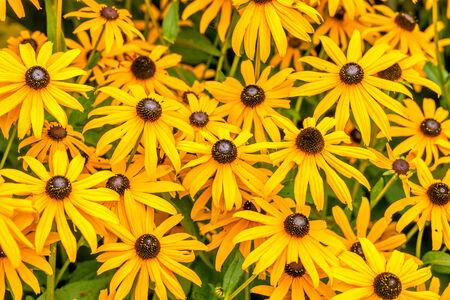 Yellow Rudbeckia Fulgida flowers in a garden photo