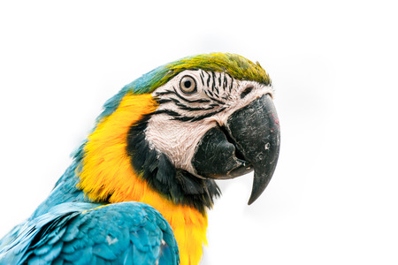 Portrait of a macaw parrot isolated on white photo