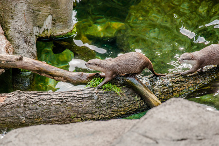 aonyx: Aonyx cinerea otters at a quiet lake Stock Photo