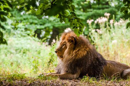Homme lion pose sur le sol de la for�t Banque d'images