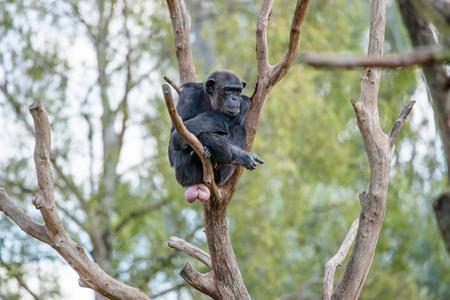 testiculos: Chimpancé aburrido en un árbol en el zoológico