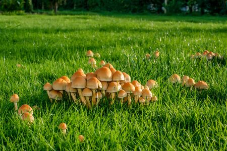 Mushrooms on a green lawn at autumn