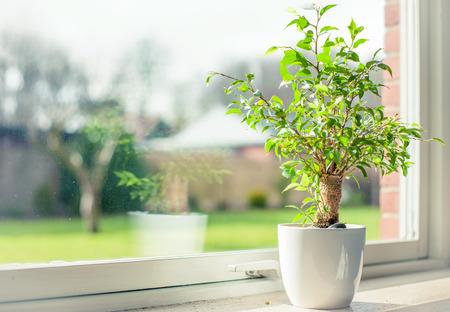 crecimiento planta: Peque�o �rbol en una ventana Foto de archivo