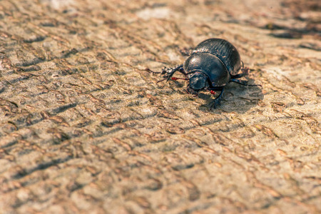 geotrupidae: Black beetle crawling on wooden surface