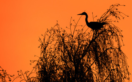 Silhouette photo of a heron in a tree photo