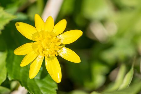 buttercup flower: Buttercup flower close-up on a green background Stock Photo