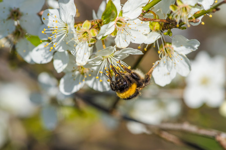 prunus cerasifera: Bumblebee on a Prunus Cerasifera tree with white flowers