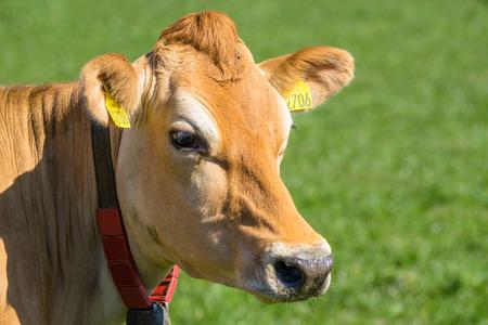 緑の芝生にジャージー牛のクローズ アップ