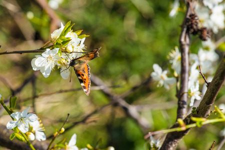 prunus cerasifera: Butterfly on a Prunus Cerasifera tree with white flowers