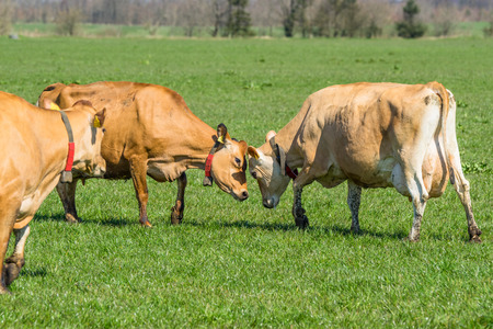 jersey cattle: Jersey cattle plays around on a green field in the spring