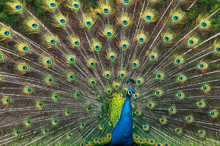 showoff: Illustration of a peacock male with beautiful feather