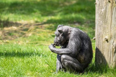 chimp: Black old chimp eating food on green grass