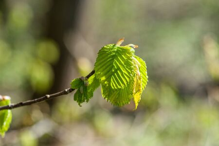 beech leaf: Beech leaf on a twig in the spring