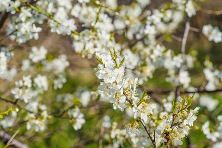 prunus cerasifera: Prunus Cerasifera tree with white flowers in the spring