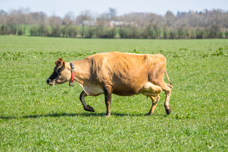 jersey cattle: Jersey cattle on green grass in the spring Stock Photo