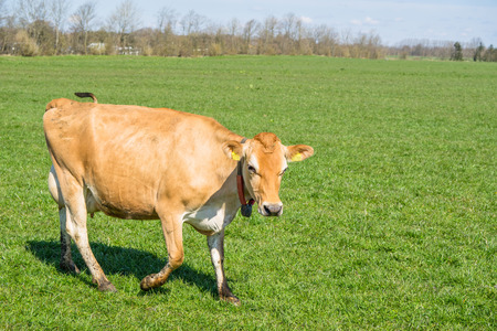 jersey cattle: Jersey cow walking on a green field in the spring