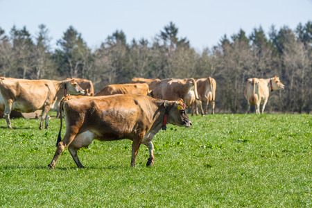 jersey cattle: Jersey cattle on a green field in the springtime