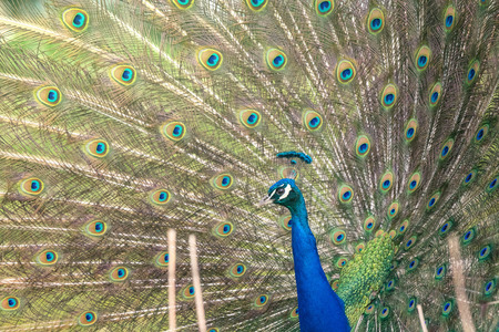 common peafowl: Blue peacock with beautiful open feathers