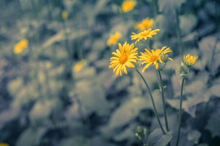 argyranthemum: Yellow marguerites on a blue toned background