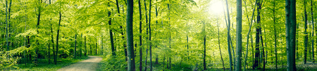 jungle green: Panorama landscape of a beech forest in the spring Stock Photo