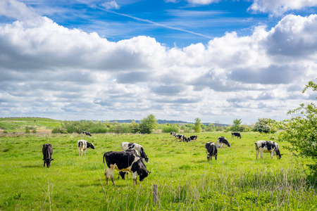 Cows on green grass in the summertime