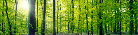 Panorama landscape of a beech forest in the springtime Imagens