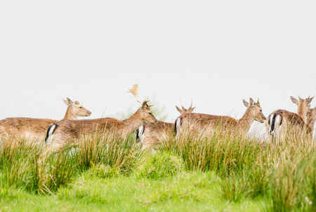 herd of deer: Deer herd on a green meadow with grass