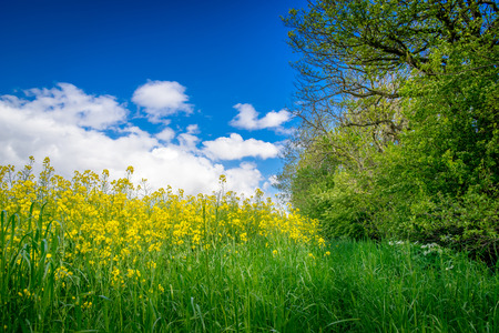 grassplot: Yellow canola flowers on a green meadow Stock Photo