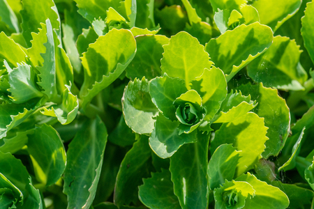 bisected: Close-up of a green cabbage field in the summertime