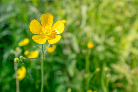 buttercup flower: Yellow buttercup flower in natural green surroundings Stock Photo