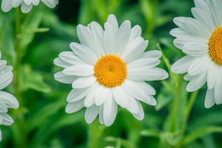 marguerites: White marguerites on natural green background in the summer