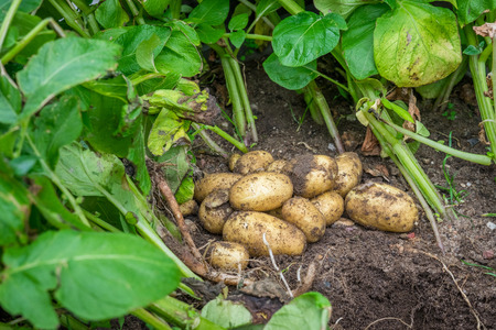 Fresh potatoes in the soil in the garden Stock Photo