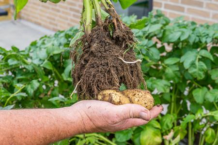homegrown: Hand holding homegrown potatoes in a garden Stock Photo