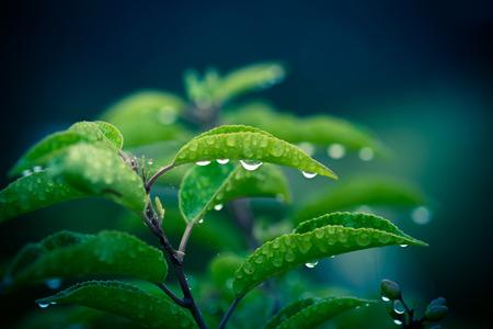 Gouttes de pluie sur une plante verte sur un fond bleu foncé Banque d'images