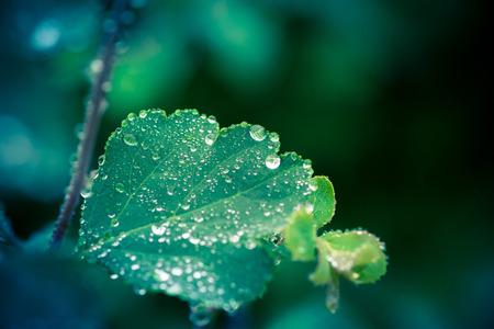 wet leaf: Wet leaf with several raindrops in green color