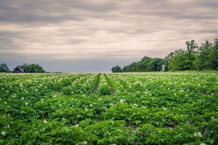 Large potato field in dark cloudy weather