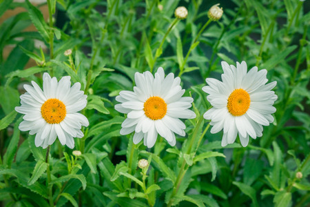 marguerites: White marguerites on a row in the summer