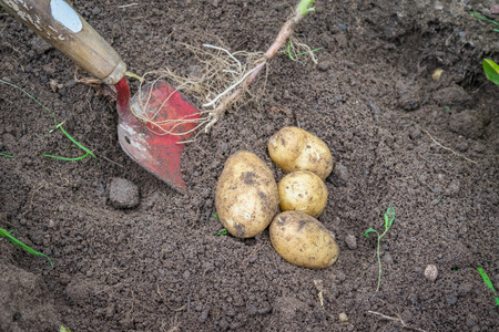 Potatoes and a shovel in soil in the garden Stock Photo