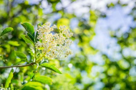 Elderberry flower in fresh green nature