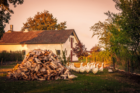barnyard: Barnyard with a flock of geese and a woodstack Stock Photo
