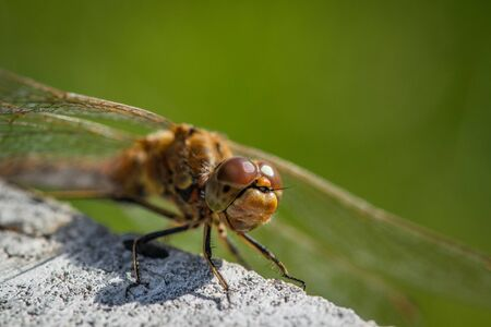 Sympetrum vulgatum dragonfly close-up in the summer