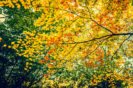 senescence: Autumn leaves in the forest trees
