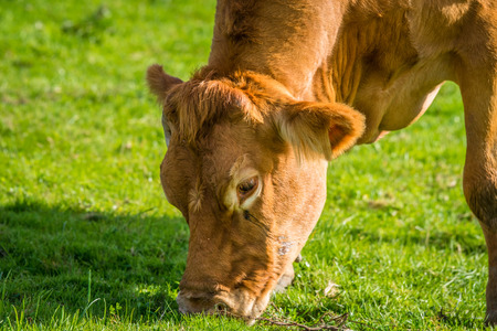 jersey cattle: Close-up of a grazing cow on green grass Stock Photo