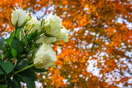 Rosas blancas ramo a finales de otoño Foto de archivo - 50012707