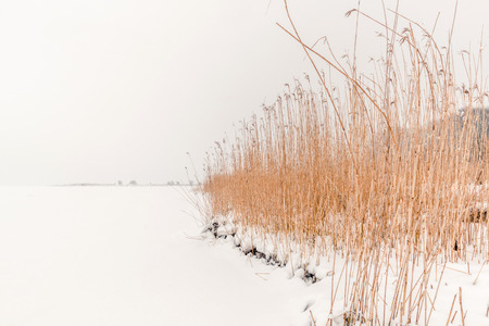 rushes: Rushes in the winter snow in the mist Stock Photo
