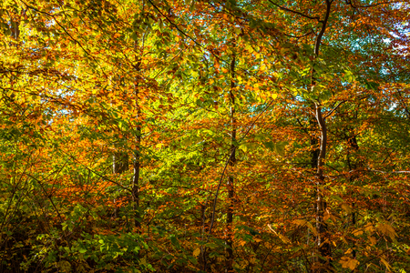 senescence: Autumn leaves in red and yellow colors in the forest Stock Photo