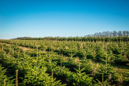Rboles de pino en una fila en una plantación en la luz del día Foto de archivo - 52127354